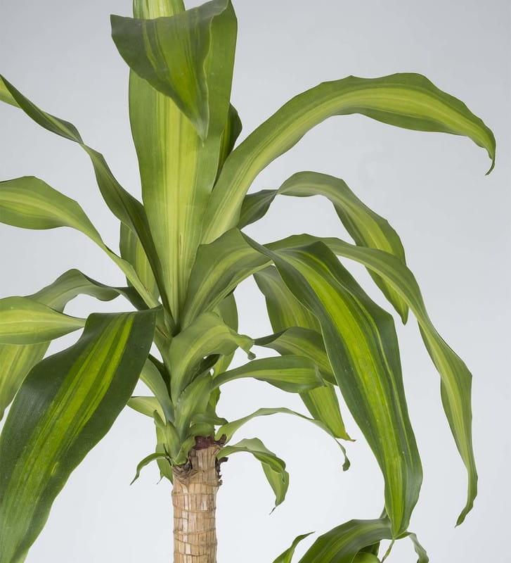 Drecena Massengena İkili Saksı Çiçeği