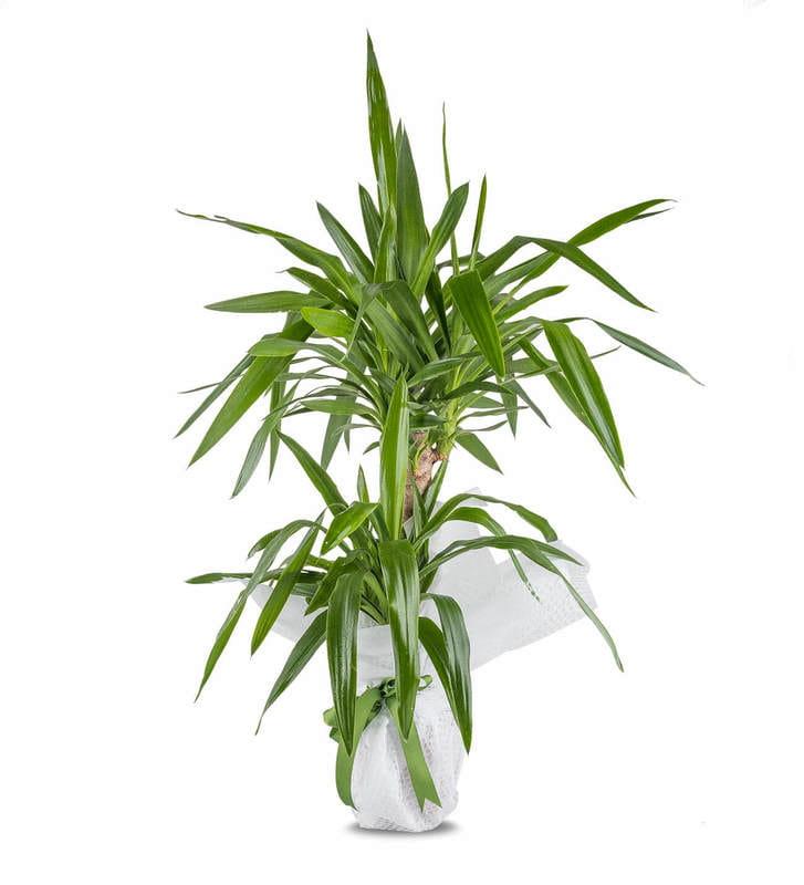 İkili Tropik Bitki Saksı Çiçeği