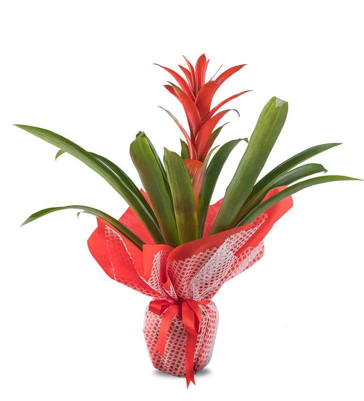 Kırmızı Guzmanya Saksı Çiçeği
