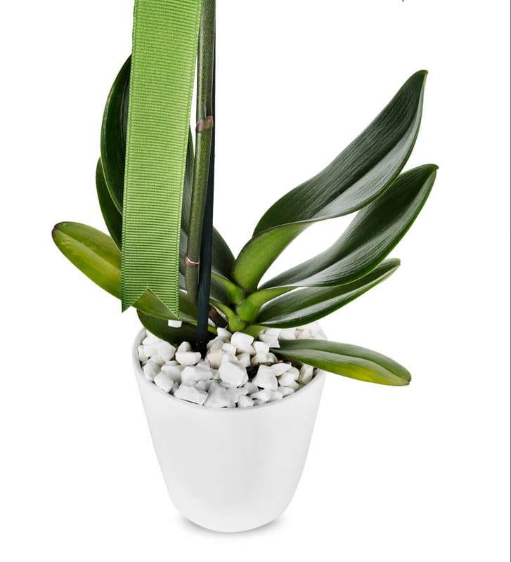 Tekli Beyaz Phalaenopsis Orkide Çiçeği